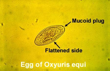 oxyuris equi zoonosis)