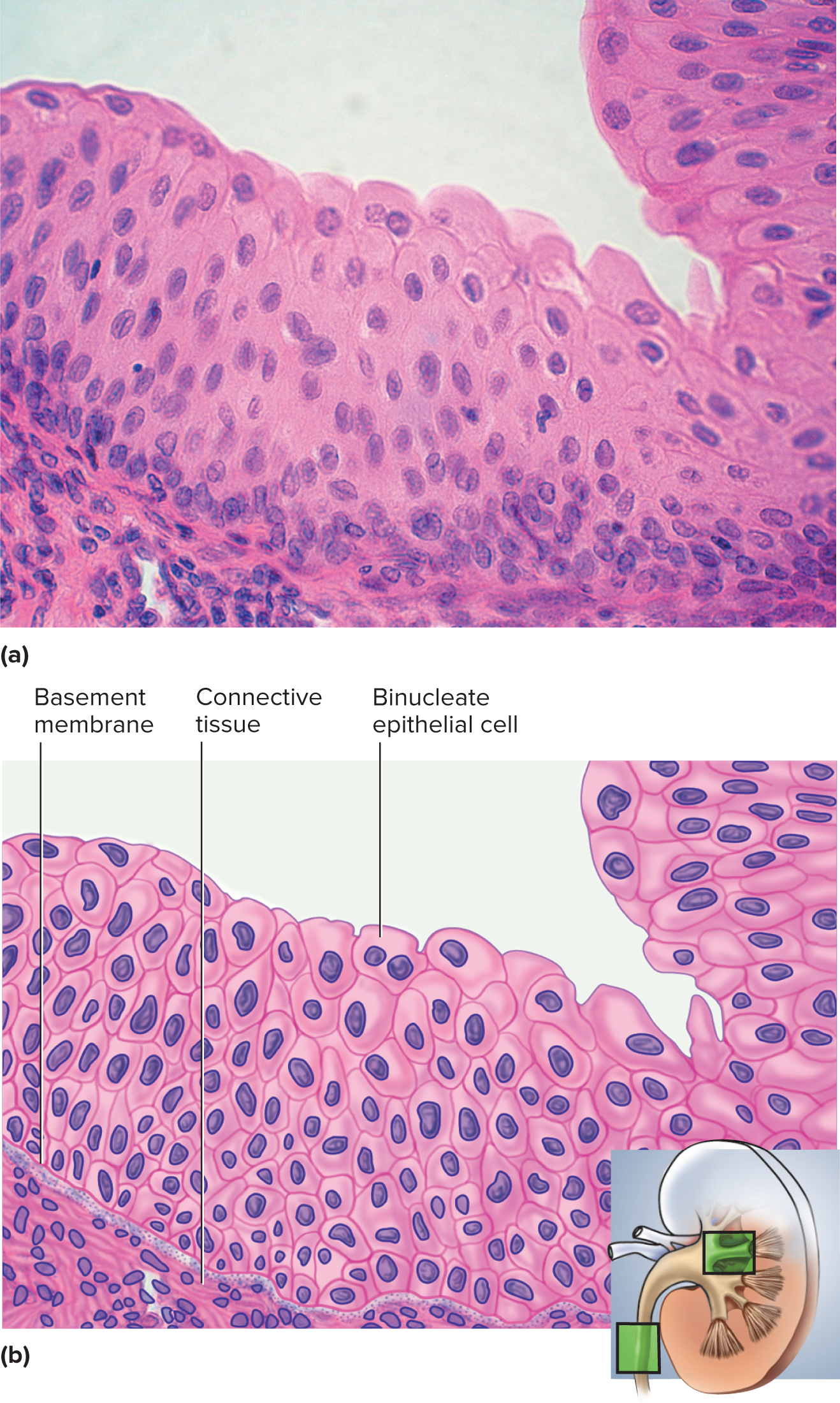 Chapter 5 Histology Flashcards Chegg Com