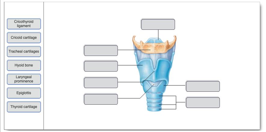 Solved Cricothyroid Ligament Cricoid Cartilage Tracheal C
