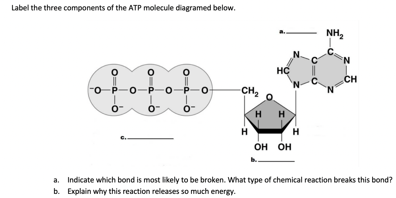 Solved Label The Three Components Of The Atp Molecule Dia Chegg Com