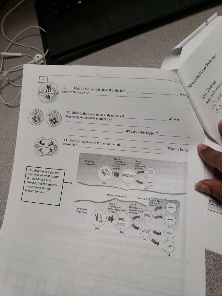Solved Monohybrid Cross Worksheet 11 Identify The Phase Chegg Com