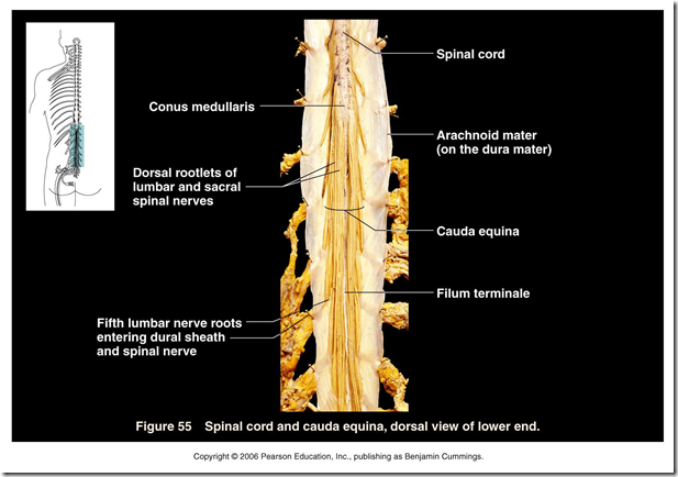 Spinal Lab Part 2 Flashcards Chegg Com Many present with serious acute symptoms such as paresthesia, paralysis, and loss of sensation or bladder and bowel function. spinal lab part 2 flashcards chegg com