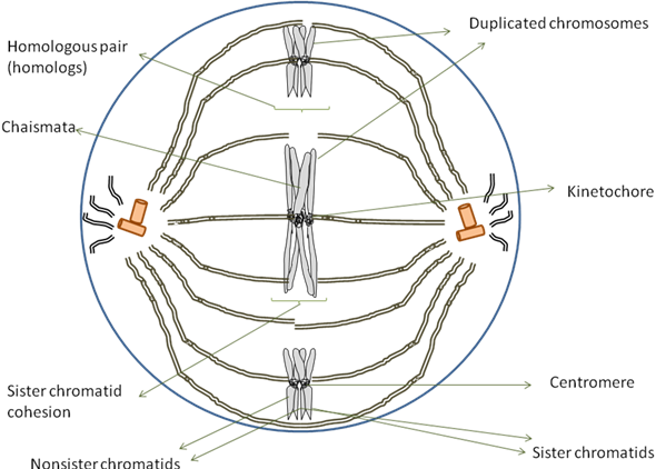 Solved: Draw IT The diagram at right shows a cell in meiosis. (a...    Chegg.comChegg