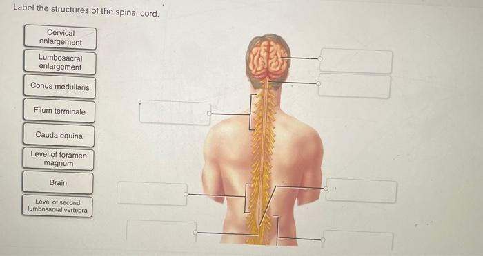 Solved Label The Structures Of The Spinal Cord Cervical Chegg Com It gives longitudinal support to the spinal cord and consists of two parts: label the structures of the spinal cord