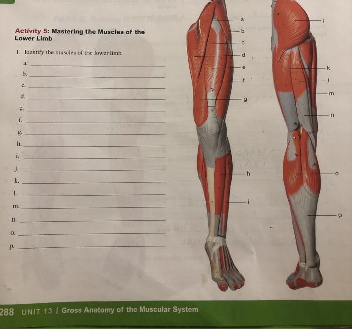 Muscular System Gross Anatomy - Anatomy Drawing Diagram