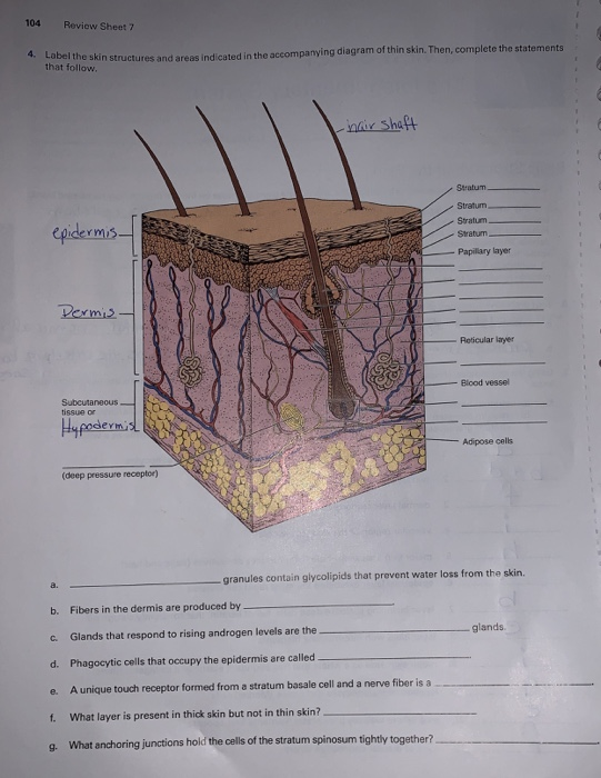 Solved 88 Review Sheet 6 4 Label The Skin Structures And Manual Guide