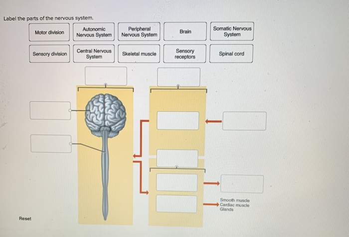 Solved: Label The Parts Of The Nervous System. Motor Divis ...