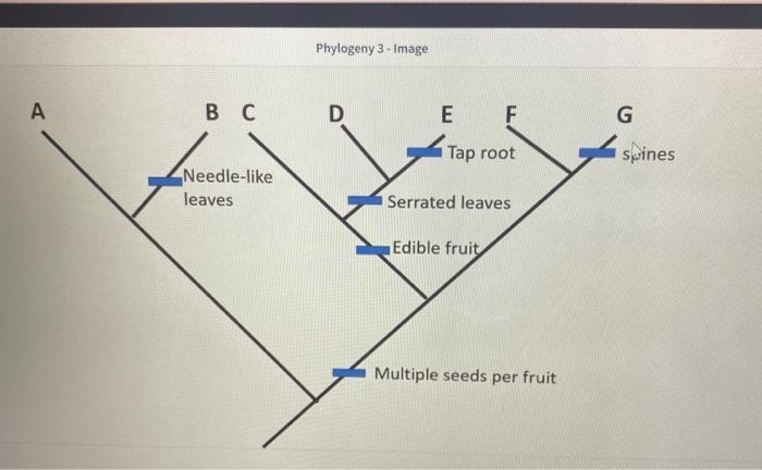 Phylogeny 3 - Image А B C D E F G Tap root Spines Needle-like leaves Serrated leaves Edible fruit Multiple seeds per fruit
