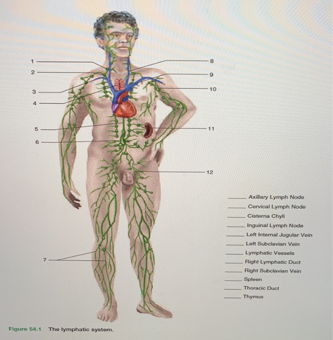 Solved Axillary Lymph Node Cervical Lymph Node Cisterna C Chegg Com Information and translations of cisterna chyli in the most comprehensive dictionary definitions resource on the web. axillary lymph node cervical lymph node