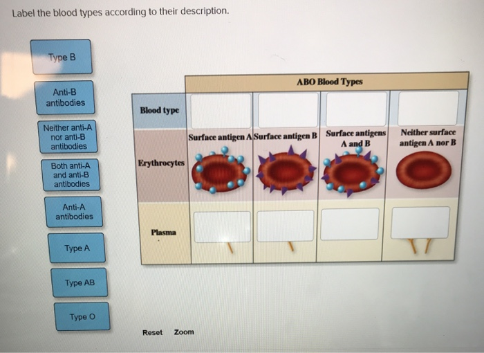 Solved: Label The Blood Types According To Their Descripti...   Chegg.com