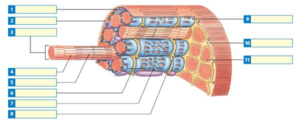 Muscle Fiber Diagram