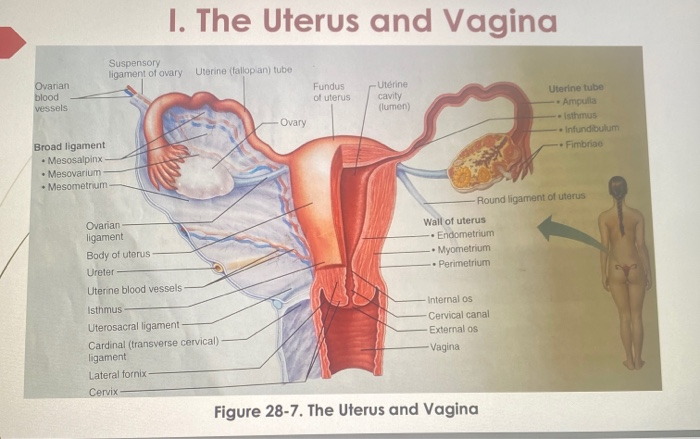 10 Supportive Ligament Of The Uterus Manual Guide