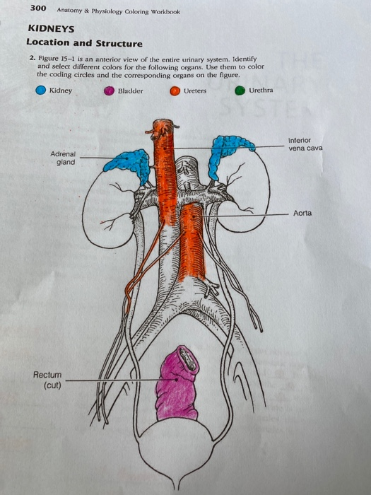 Solved: 300 Anatomy & Physiology Coloring Workbook KIDNEYS... Chegg.com