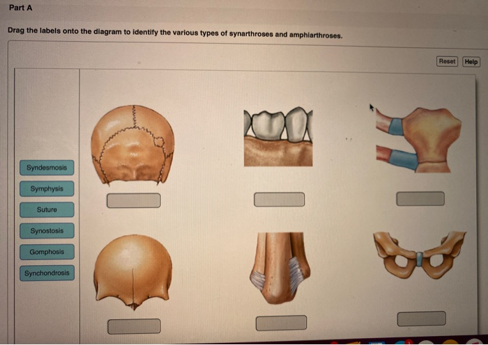 Solved Part A Drag The Labels Onto The Diagram To Identif Chegg Com Synchondrosis where the connecting medium is hyaline cartilage, a cartilaginous joint is termed a an example of a synchondrosis joint is the first sternocostal joint (where the first rib meets the. part a drag the labels onto the diagram