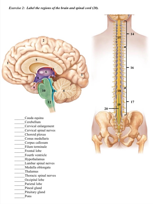 Solved Exercise 2 Label The Regions Of The Brain And Spi Chegg Com It is distal to the tapered end of the spinal cord, or conus medularis. solved exercise 2 label the regions