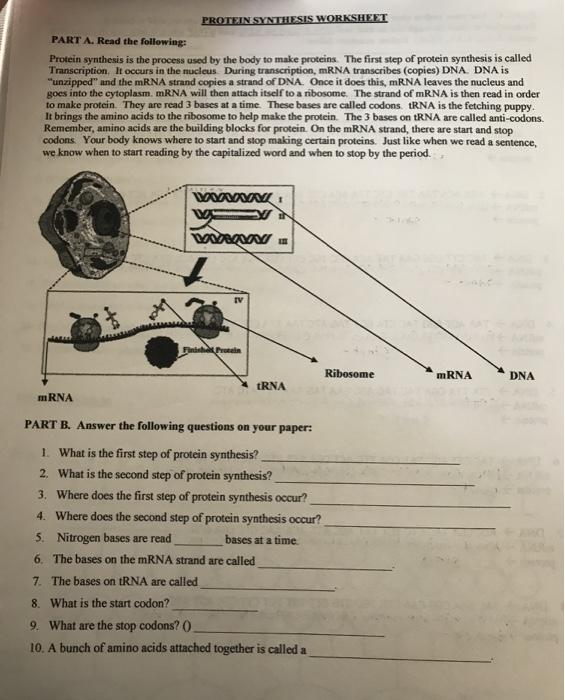 Diagram Protein Synthesis Worksheet - Aflam-Neeeak