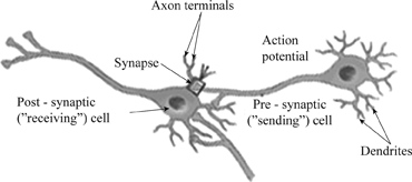 The Anatomy Of A Synapse Answer Key - Anatomy Drawing Diagram