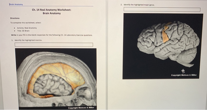 Solved: Brain Anatomy 2. Identify The Lighted Major Ch. 14 ...