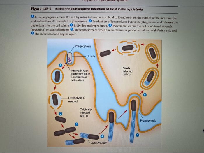 Solved As Described In Fig 13b 1 Listeria Monocytogenes Chegg Com