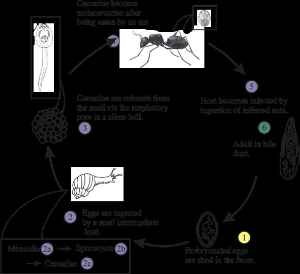 A pinworms- kel iskolába járhat, Bélben lévő szalagféreg